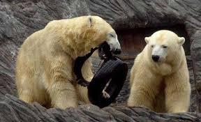 پاورپوینت خرس و خرس قطبی